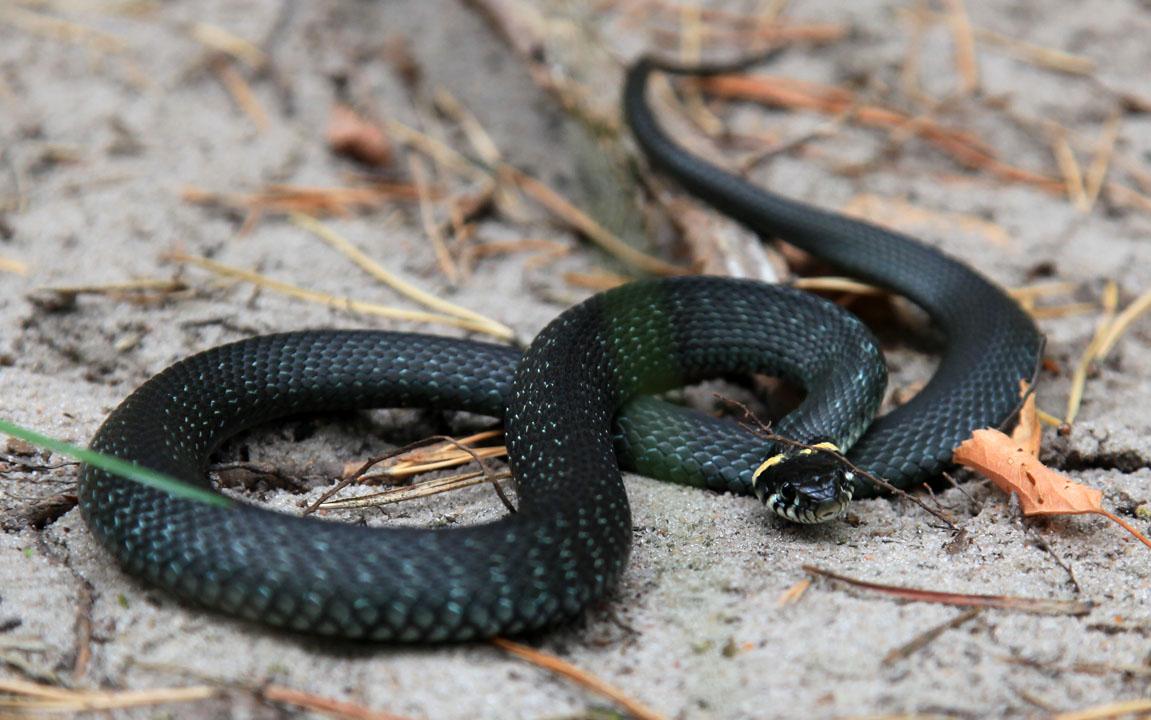 берега собирали змеи подмосковья виды фото и названия если вам